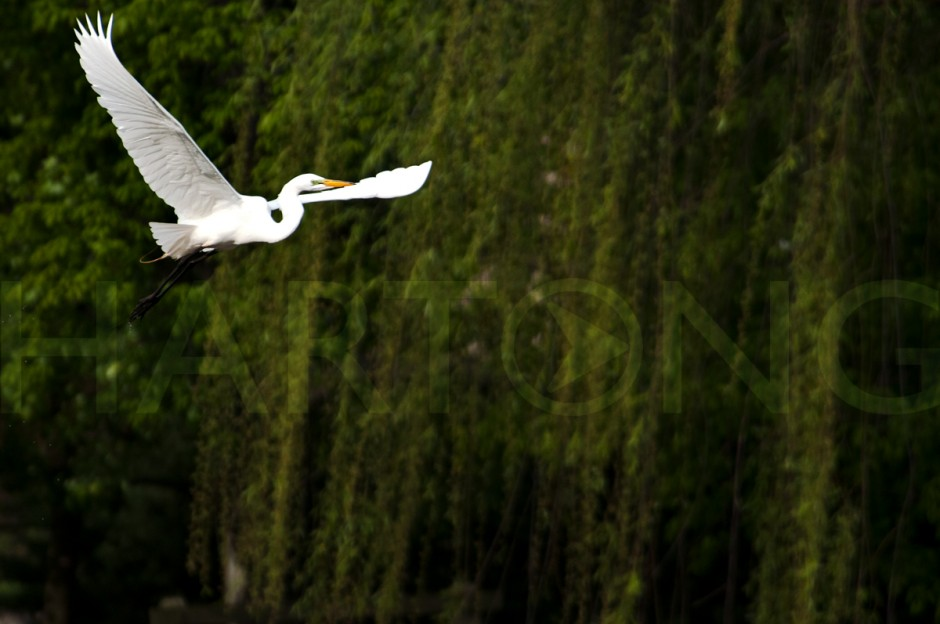 great egret in flight in front of willow tree