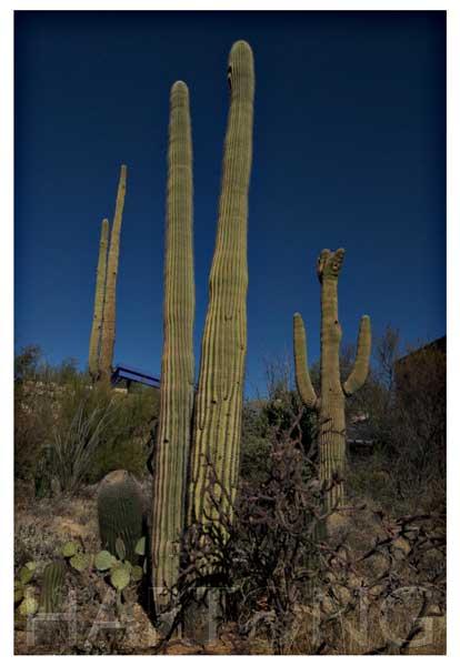 saguaro cactus photographed with circular polarizer filter