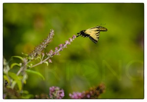 butterfly flying on the next butterfly bush at the park