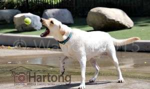 Wanda's excellent photo of a labrador retreiver catching a ball in Cincinnati after 1-1 Camera Lessons with Malinda Hartong, Hartong Digital Media. Wanda used a Canon 70D with a EF-S18-135mm at 135mm and over 1/2000 shutter speed to freeze the ball mid-air and dog mid-catch.