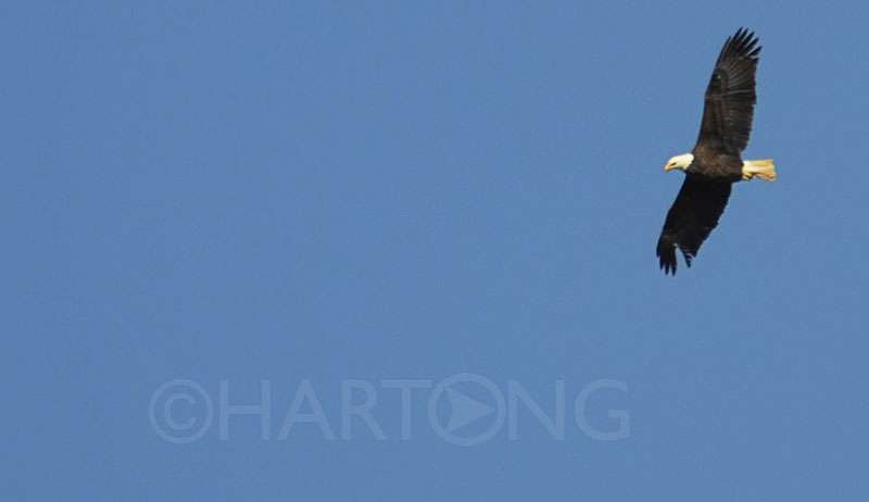 20150128. An eagle soars over Winton Lake on a cold January afternoon. ©Malinda Hartong, Hartong Digital Media llc. all rights reserved. Nikon D300S, 1/640 sec, f/5.6, ISO 100, 70-300mm lens at 300mm.