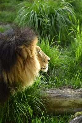 photo of lion with dark background unedited